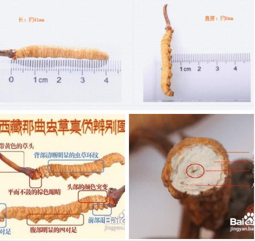 phân biệt đông trùng hạ thảo thật giả